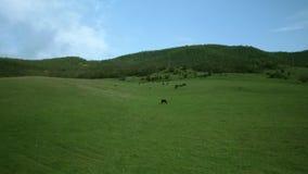 Коровы пасут в луге видеоматериал