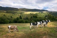 Коровы пасут в луге в горах Стоковое фото RF