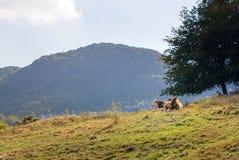Коровы пасут в луге в горах Стоковые Фотографии RF
