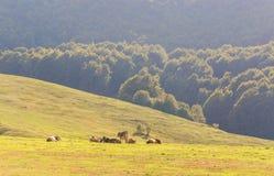 Коровы пасут в луге в горах Стоковое Изображение