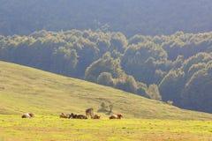 Коровы пасут в луге в горах Стоковое Фото