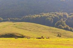Коровы пасут в луге в горах Стоковые Фото
