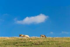 Коровы пасут в луге в горах Стоковая Фотография RF