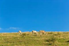 Коровы пасут в луге в горах Стоковое Изображение RF