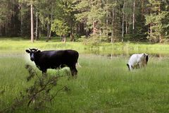 коровы пасут в луге около озера леса Стоковые Изображения RF