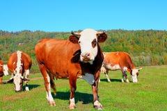Коровы пасут в луге Стоковые Фотографии RF
