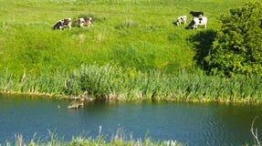 Коровы пасут в луге Стоковые Фото