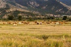 Коровы пасут в луге Стоковое Изображение RF