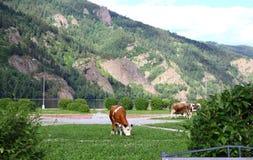 Коровы пасут в области, городе Divnogorsk Стоковое Фото