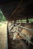 Коровы пасут в поголовье Стоковые Фотографии RF