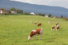 Коровы пасут в предгорьях Стоковая Фотография
