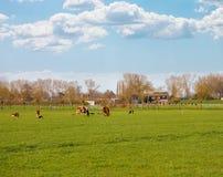 Коровы пасут в луге около фермы в Нидерландах Стоковые Фото