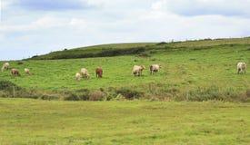 Коровы пасут в луге Стоковая Фотография