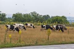 Коровы пасут в луге 2 Стоковые Изображения