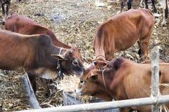 Коровы пасут в paddock Стоковые Фотографии RF