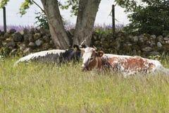 Коровы пасут лежать Стоковое Изображение