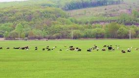 Коровы пасут и отдыхают на луге весны или лета со свежей, яркой ой-зелен травой видеоматериал