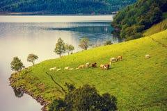 Коровы пасут на береге фьорда моря Стоковое Изображение RF