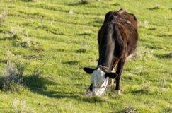 Коровы пасут на выгоне на природе Стоковые Фото