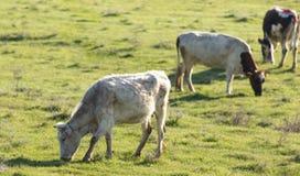 Коровы пасут на выгоне на природе Стоковые Изображения