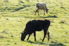 Коровы пасут на выгоне на природе Стоковые Фотографии RF