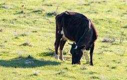 Коровы пасут на выгоне на природе Стоковое Изображение RF