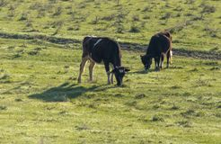 Коровы пасут на выгоне на природе Стоковое фото RF