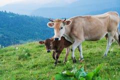 Коровы пасут на высокогорных лугах Стоковые Фото