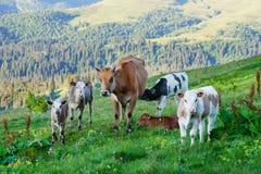 Коровы пасут на высокогорных лугах Стоковые Изображения RF