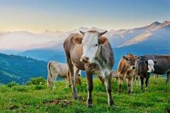 Коровы пасут на высокогорных лугах Стоковые Изображения