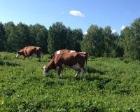 2 коровы пасут на зеленом луге Стоковые Изображения