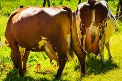Коровы пасут на зеленом поле луга Стоковая Фотография