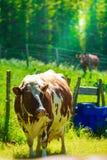 Коровы пасут на зеленом поле луга Стоковое Изображение RF