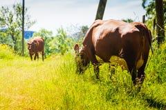 Коровы пасут на зеленом поле луга Стоковые Фотографии RF