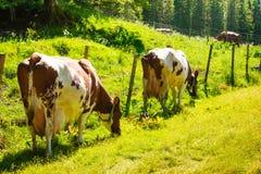 Коровы пасут на зеленом поле луга Стоковые Фото