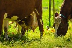 Коровы пасут на зеленом поле луга Стоковое Фото