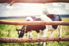 Коровы пасут на зеленом луге Стоковая Фотография RF