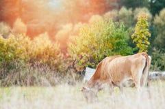 Коровы пасут на зеленом луге Стоковое Изображение