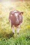 Коровы пасут на зеленом луге Стоковые Изображения RF