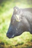 Коровы пасут на зеленом луге Стоковое Изображение RF