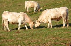Коровы пасут на зеленом лужке Стоковое Изображение