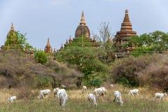 Коровы пасут на исторических буддийских висках Стоковое Изображение RF