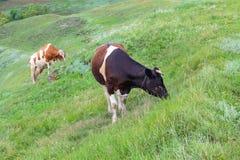 2 коровы пасут на лож после дождя Стоковое фото RF