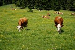 Коровы пасут на луге в горных вершинах Стоковая Фотография RF