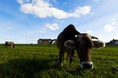 Коровы пасут на луге в солнечном дне Стоковое Изображение RF