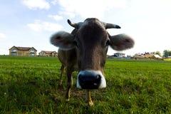 Коровы пасут на луге в солнечном дне Стоковые Фото