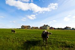 Коровы пасут на луге в солнечном дне Стоковые Фотографии RF