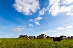Коровы пасут на луге в солнечном дне Стоковые Изображения