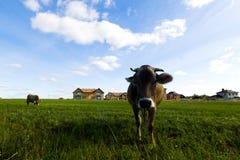 Коровы пасут на луге в солнечном дне Стоковое Фото