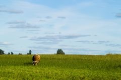 Коровы пасут на луге в солнечном дне Стоковые Изображения RF